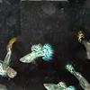 Ikan Guppy Platinum blue mozaik