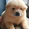 puppies chow- chow jantan murah meriah