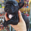 puppies french bulldog betina open book