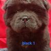 puppies chow chow jantan hitam warna unik