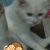 kucing persmed full white solid