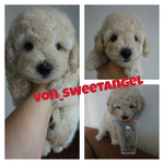 dijual-toy-poodle-super-cute--high-quality