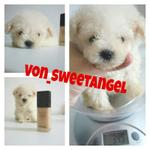 dijual-teacup-toy-poodle-super-high-quality