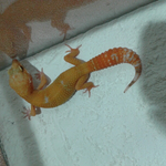 jual-gecko-sunglow-ct-red-80-nego