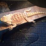 jual-bearded-dragon