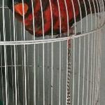 burung-nuri-nuri-dusky