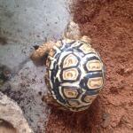 wts-tortoise-pardalis