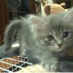 jual-2-kucing-mainecoon-mix-rp1300000