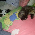 kitten-persia-lucu-dan-manja