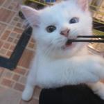 kucing-kitten-persia-jantan-oddeye