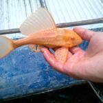 jual-pleco-albino-gibbiceps-l083-adonis-l155