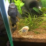 pleco-brushmouth-longfin-panamense-red-lizard