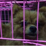 anjing-mini-pomerian-murah-bu-puppies