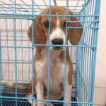 dijual-beagle-non-stanbum-8-bulan-murah