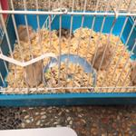 hamster-winter-robo