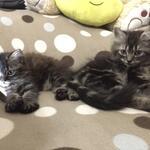 lepas-adopsi-kitten-persian-black-tabby