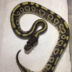 ball-python-morp-mojave