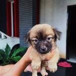 anak-anjing-puppy-puppies-guguk-campuran-cihua-hua-shitsu
