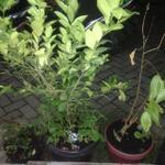 tanaman-buah-jeruk-lemon-dalam-pot-belum-berbuah