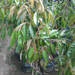 pohon-duren-musangking-kaki-tiga
