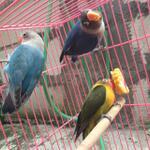 burung-lovebird-warna