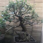 bonsai-amplas-antik-duduk-dibatu-110-cm-x-100cm