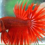 ikan-cupang-crowntail-red