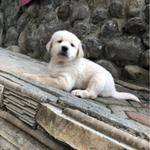 puppies-golden-retriever-jantan