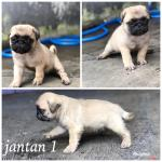 puppies-pug-high-quality
