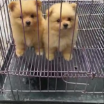 puppies-minipom-cream