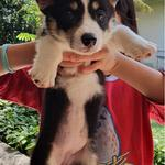 puppies-welsh-corgi-betina
