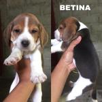 puppies-beagle