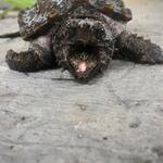 wts-tt-bt-kura-ast-snapping-turtle-8-cm-no-minus