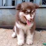 puppies-alaskan-malamute-jantan-red-bigbone