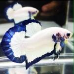 ikan-cupang-giant-blue-rim