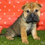 sharpei-babies-looking-for-good-home