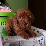 super-murah-super-red-toy-poodle-jantan-puppy-for-dog-lover-only