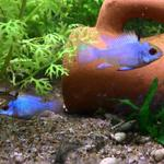 ikan-udang-aquascape-sae-guppy-red-nose-corydoras-neon-electric