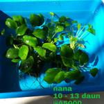 anubias-nana-nana-mini-barteri-anubias-golden-bisa-request
