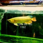 arowana-golden-red-alias-rtg