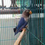 burung-love-bird-violet