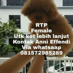 red-toy-poodle
