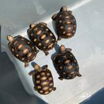 red-footed-tortoise-65-cm