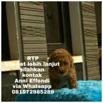 jual-red-toy-poodle