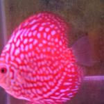 ikan-discus-size-35-in