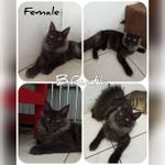 kitten-maine-coon-pure-non-ped