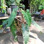 philodendron-atabapoense-size-besar