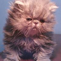 kitten-persia-pignose-bandung