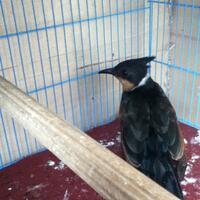 burung-quotmasterquot-cililin