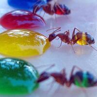 tahukah-andakeajaiban-semut-yang-indah